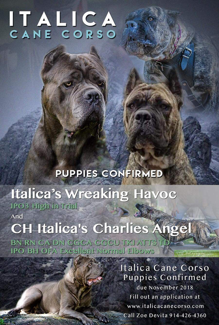 Cane Corso Dogs Breeders Mastiff Puppy Sale Picture Kennels Italiano